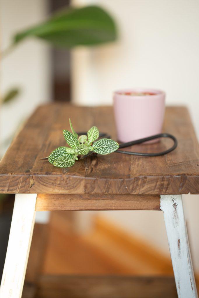 Fittonia Mosaikpflanze Ableger einfach selber züchten mit Anleitung