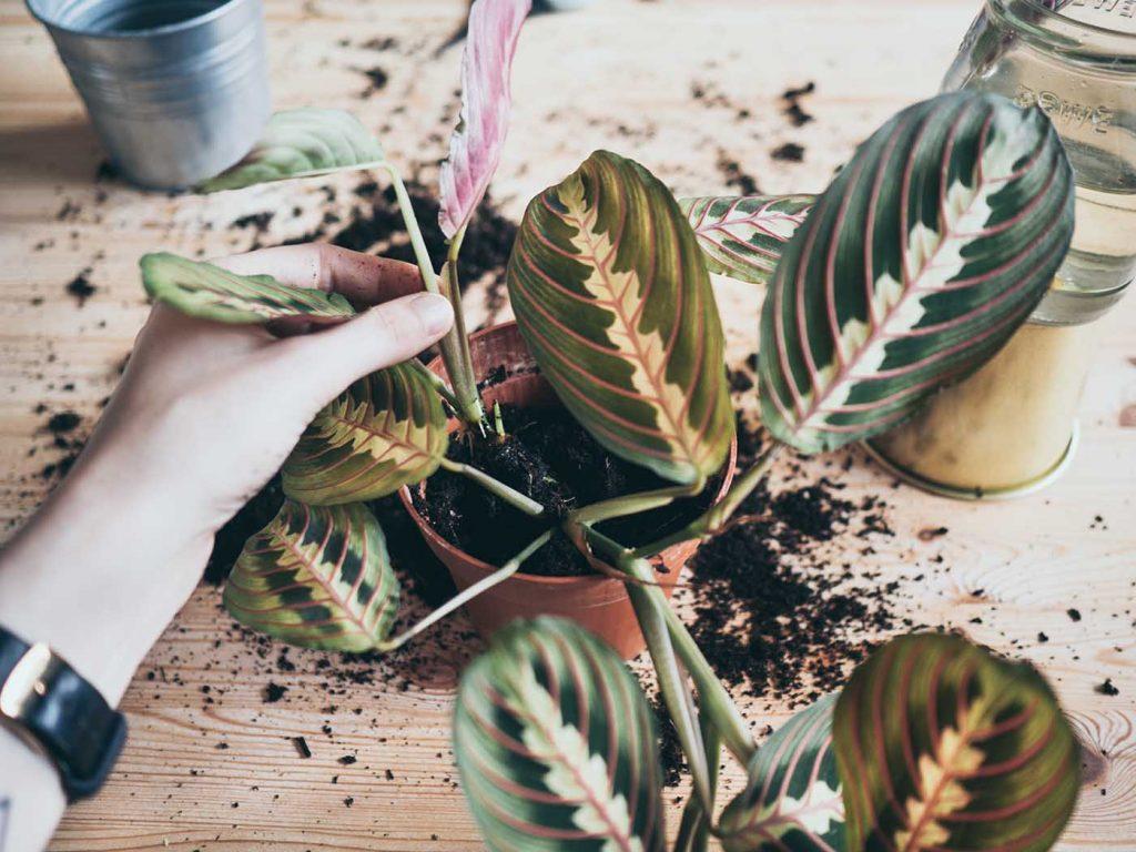 Marante Ableger einfach selber züchten mit Anleitung