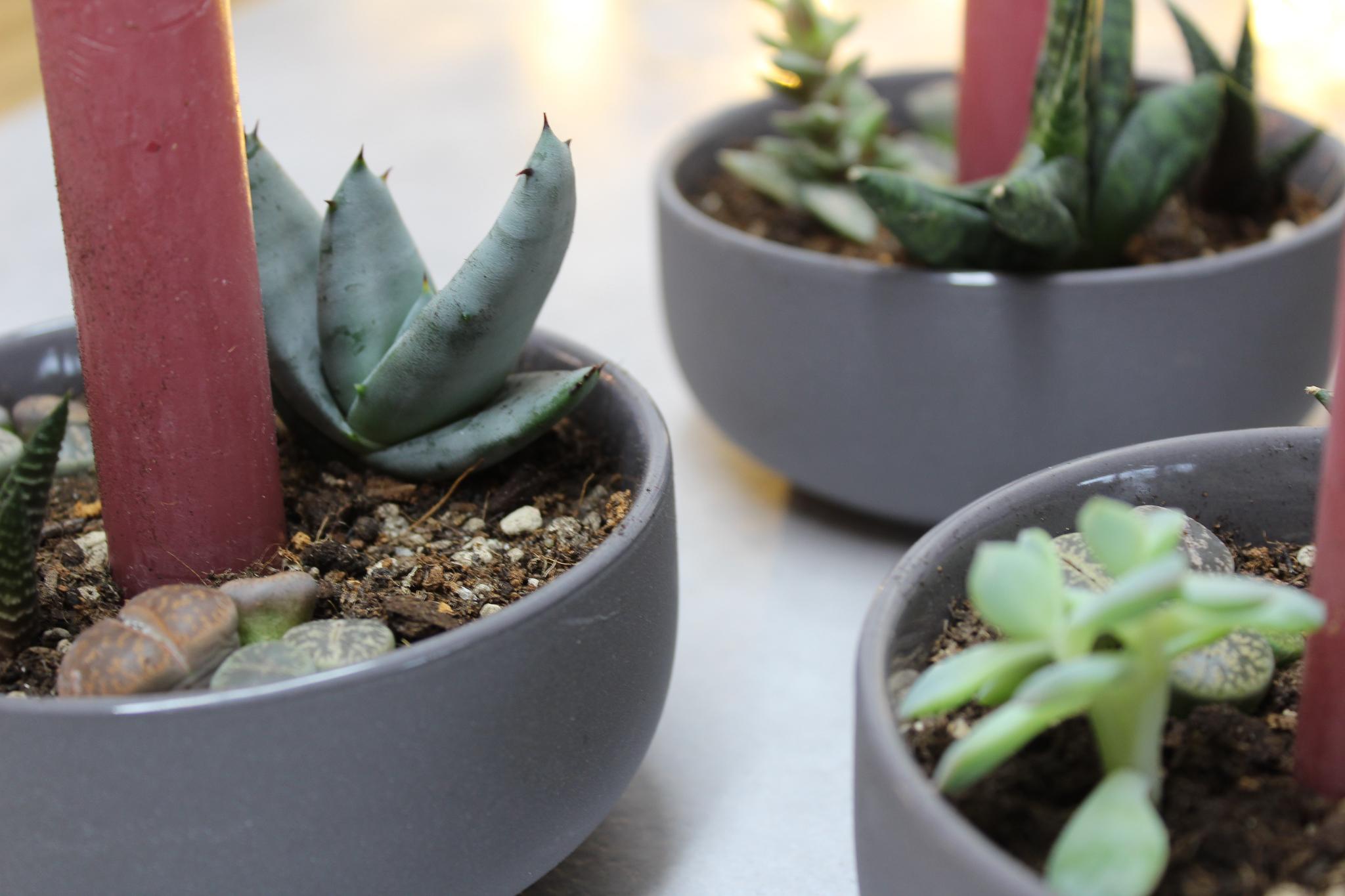 Sukkulenten-Adventskranz für Pflanzenfreunde